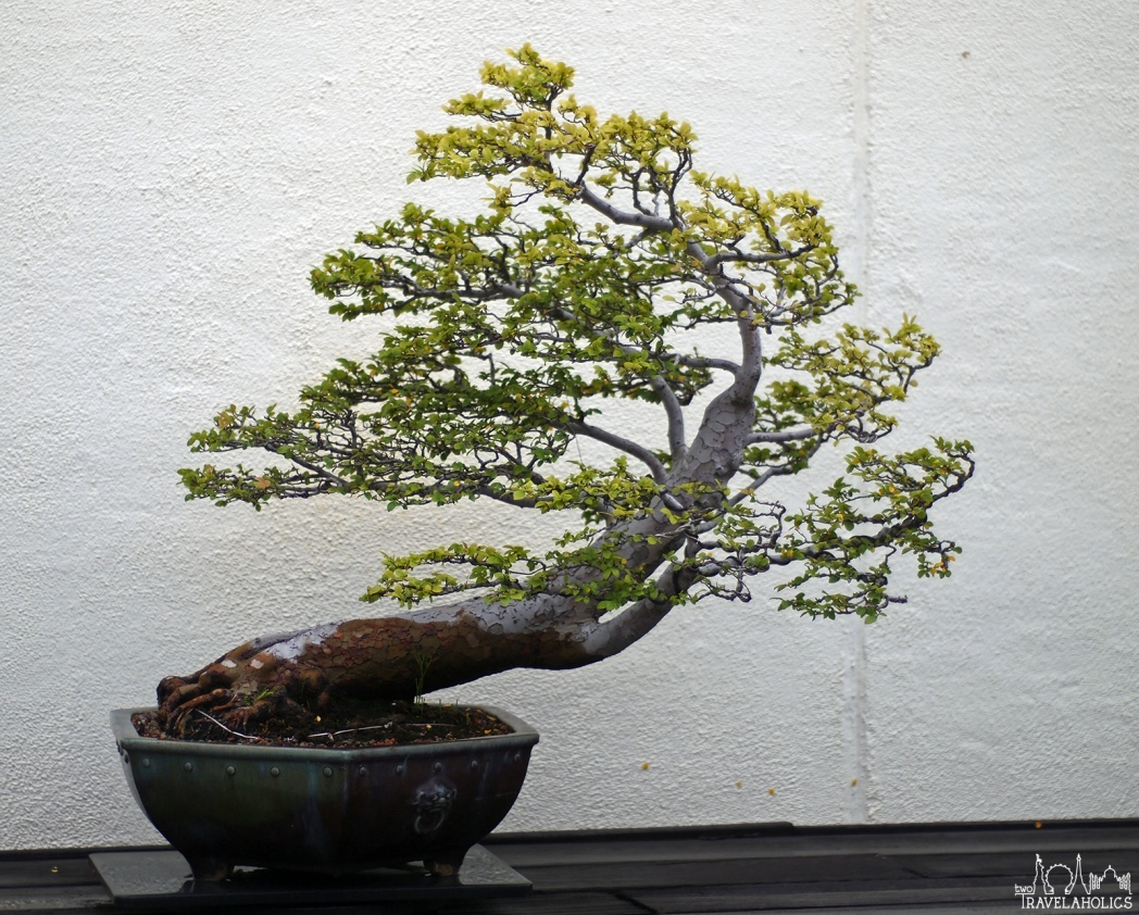 Bonsai tree inside the National Bonsai & Penjing Museum. Photo by Mike Shubbuck.