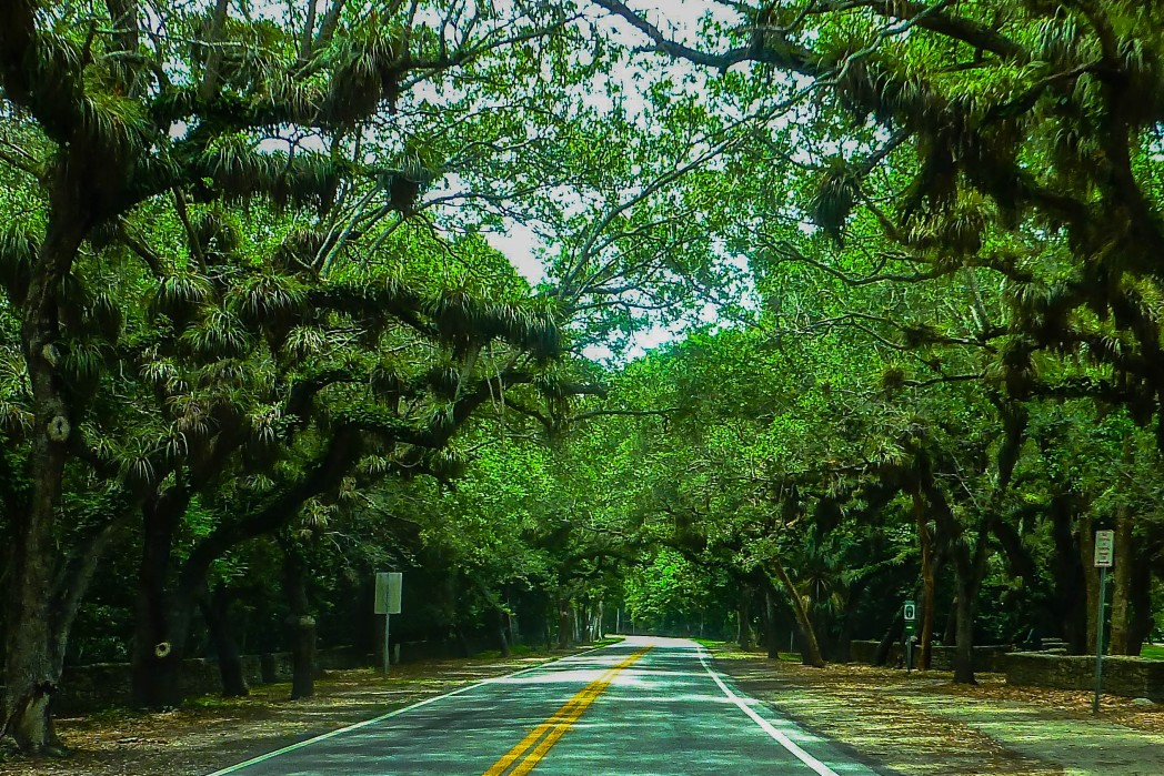 banyan trees covering Old Cutler Road